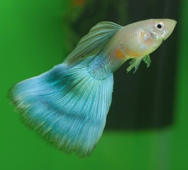 blue-delta-guppy