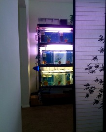 guppies-corner-guppy-room