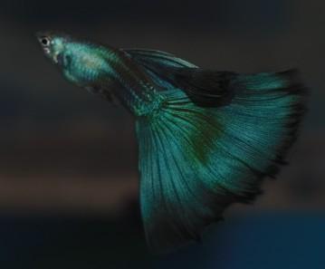 igor-moscow-green-guppy