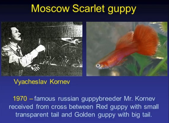 Moscow Scarlet guppy