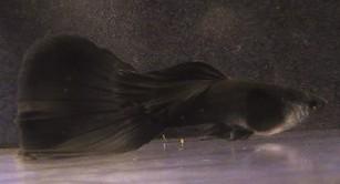 igors-black-moscow