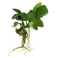 Aquareium plant NANA