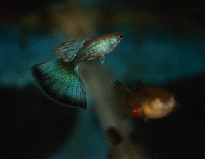 Blue Green Moscow Guppies
