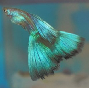 Green Moscow guppy