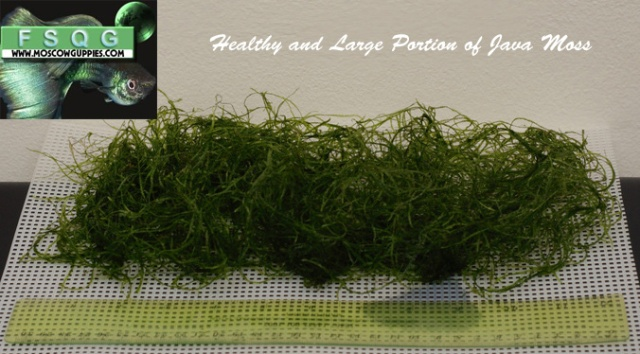 java-moss-for-sale