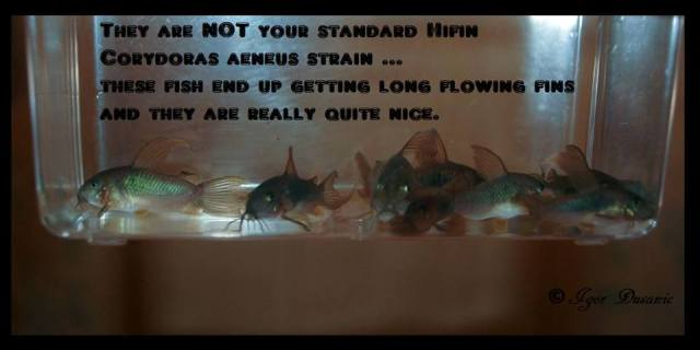 long-fin-bronze-cory-for-sale