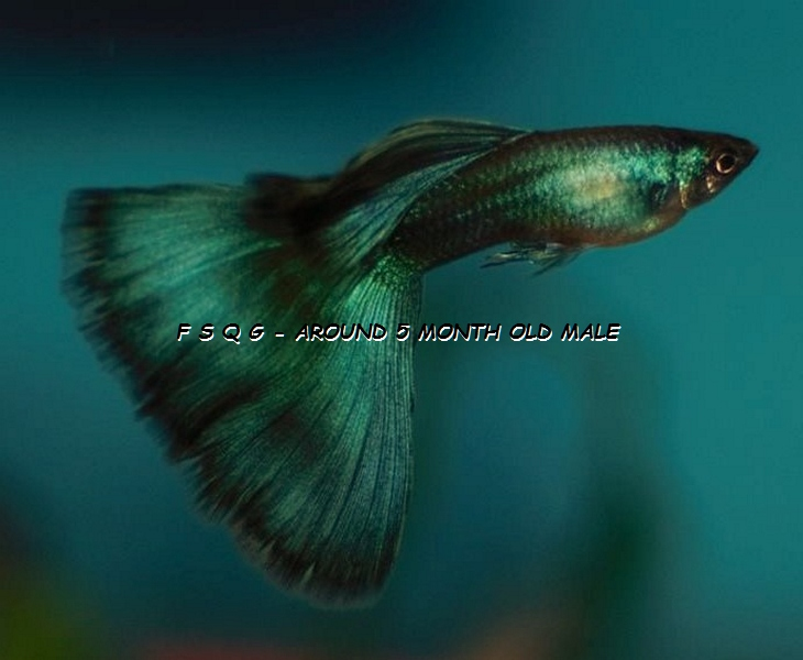 Show guppies for sale | F S Q G * Fancy Show Quality Guppies