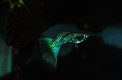 Blue Green Moscow Guppy