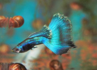 Blue Purple Moscow Guppy