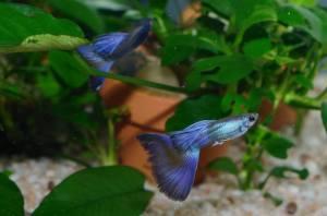 hawaiian-blue-purple-moscow-guppies