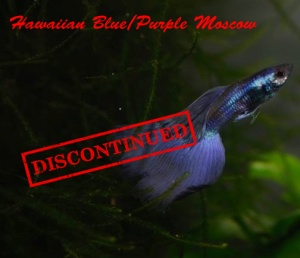 hawaiian-blue-purple-moscow-guppy