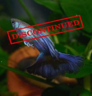 hawaiian-blue-purple-moscow-guppy