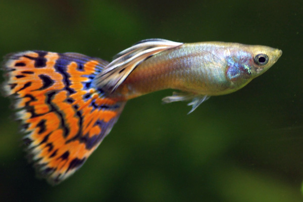 Moscow guppy