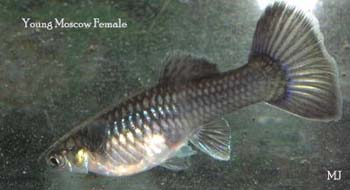 guppy-female-fish