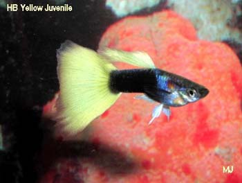 hb-yellow-male-guppy-by-mary-jane
