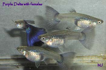purple-delta-guppy-1