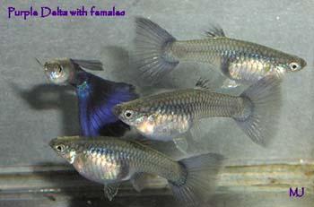 purple-delta-guppy-1