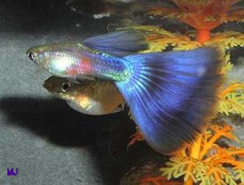 purple-delta-guppy-3