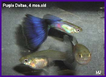 purple-delta-guppy-4