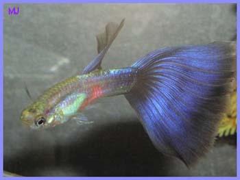 purple-delta-guppy-5