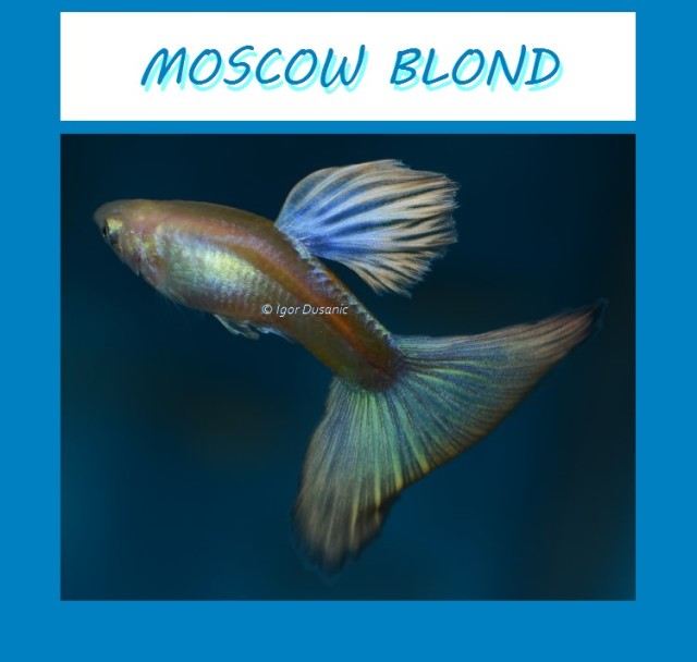 Moscow Blond guppy by Igor Dusanic