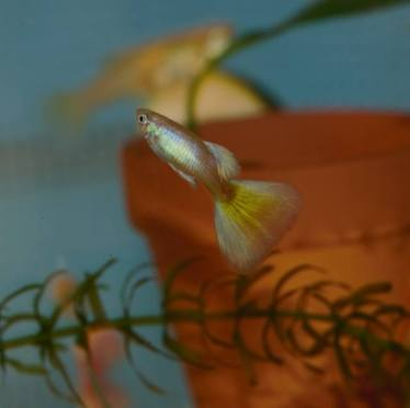 Moscow Blond guppy juvenile