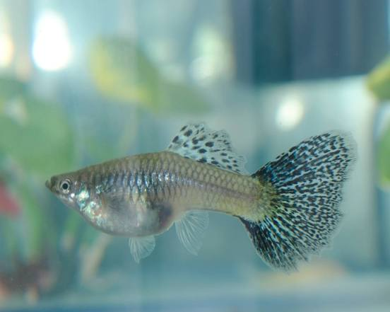 Blue Grass female guppy