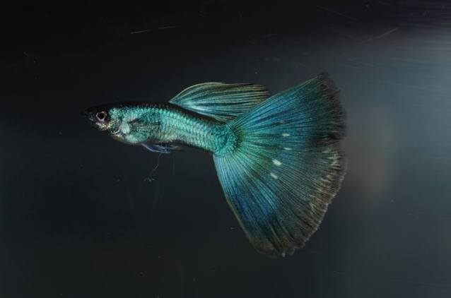 Moscow guppy cross