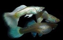 Full Platinum White guppies