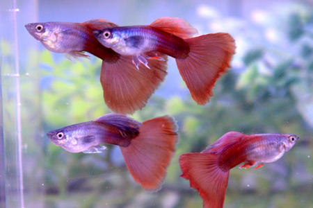 Dark-colored brown guppies