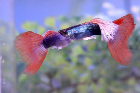 Dark red Pastel red guppy