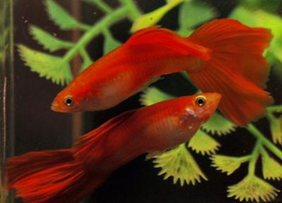 Moscow scarlet guppies by V V Storozhev