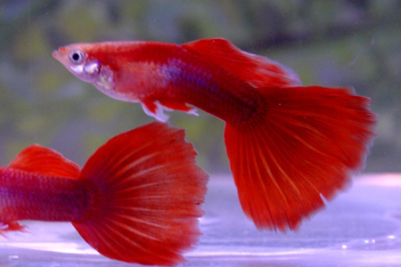 Moscow Scarlet guppies by V.V Storozhev