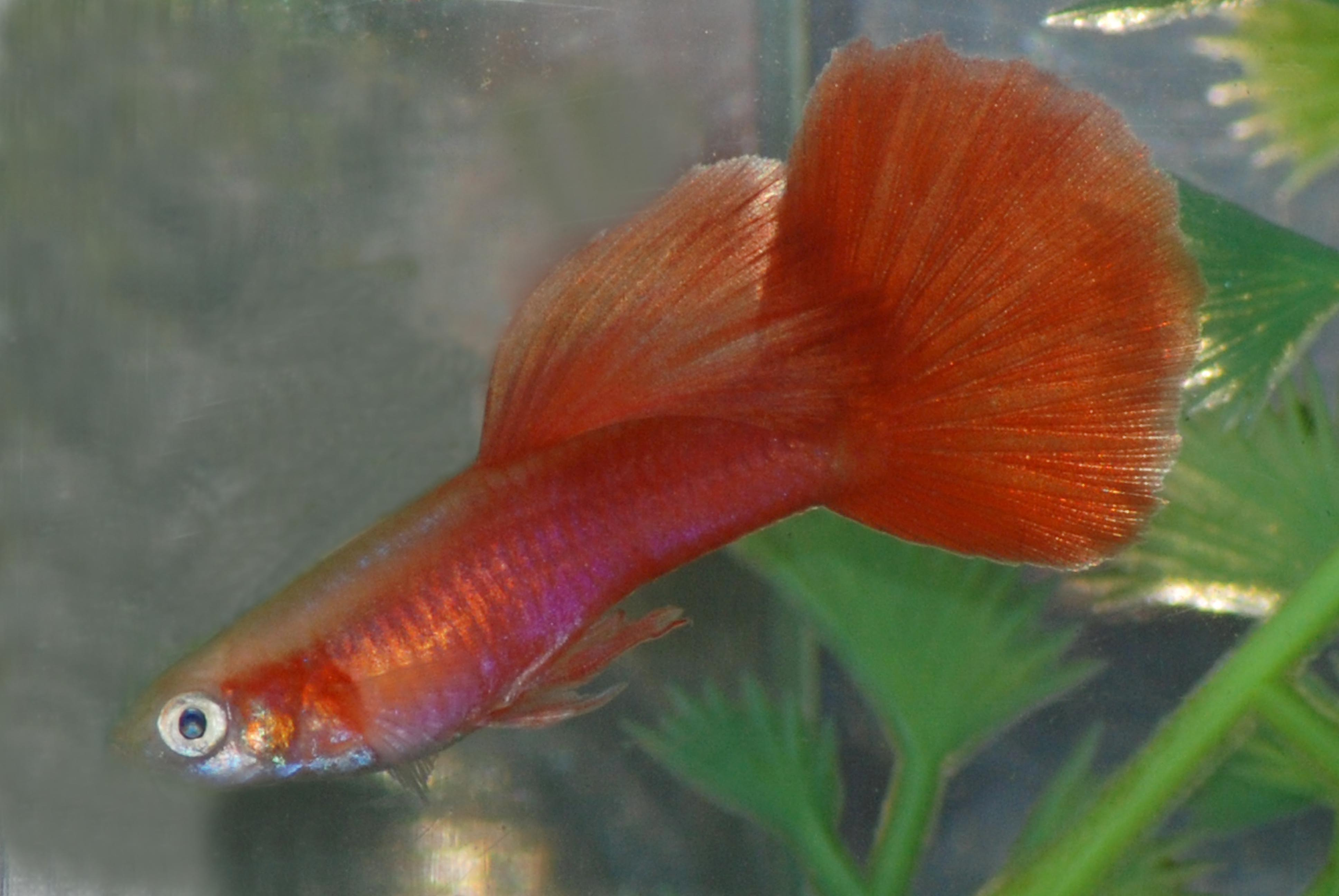 moscow scarlet guppy f s q g fancy show quality guppies