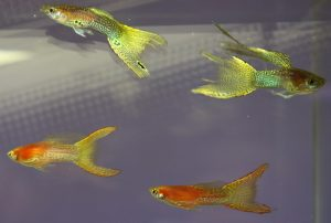 Russian guppies