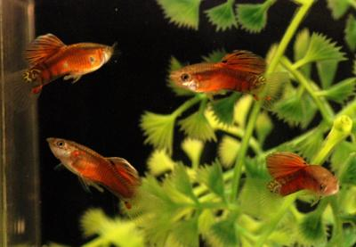 Russian transparent tail guppy