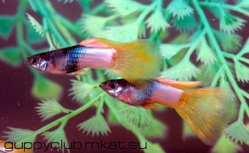 Yellow Metallic guppy guppies