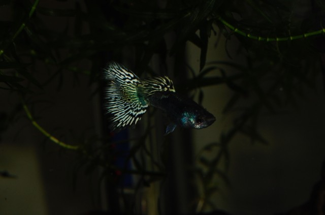 Moscow Tiger guppy