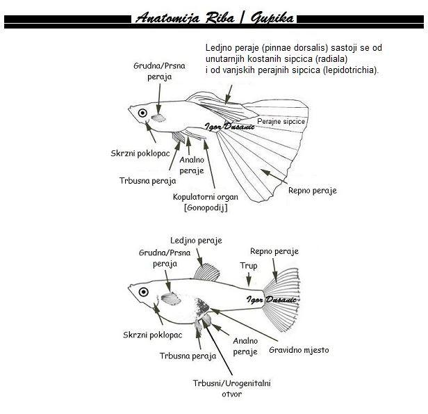 Gradja riba anatomija gupija gupika