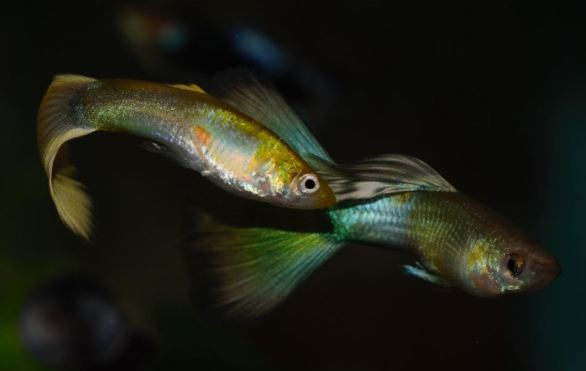 Guppies development by Igor Dusanic
