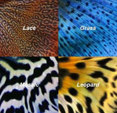 Guppy tail colors