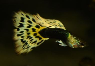 Half Black AOC guppy male