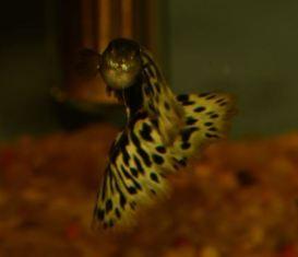Half Black AOC guppy male