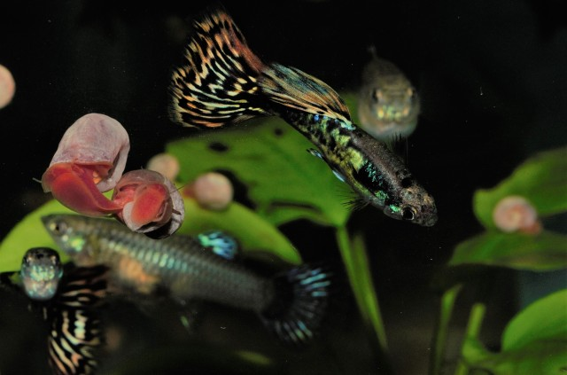 Mosaic guppies