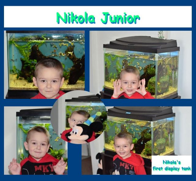 Nikola's first display show guppies tank