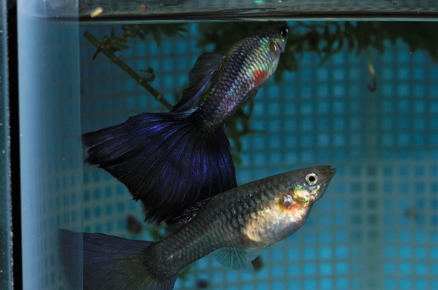 Purple Delta show quality pair