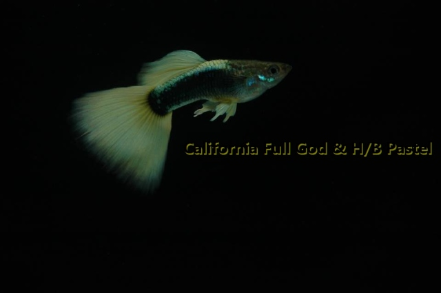 California Full Gold Half Black Pastel