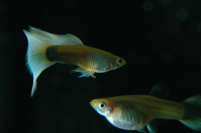 Half Black Pastel Blond guppies