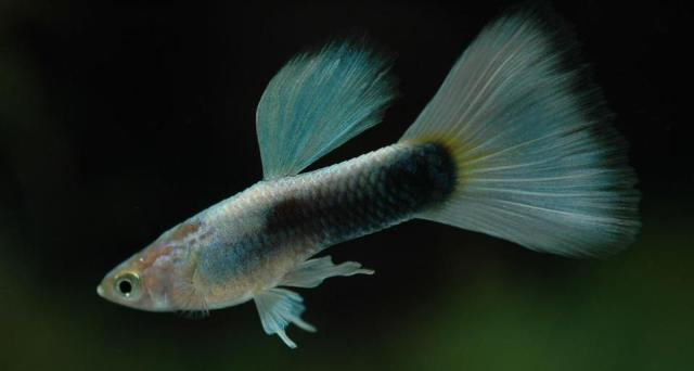 Half Black Platinum guppy