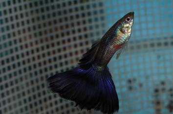 Purple Delta guppies